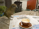 Kea on Coffee Table, New Zealand Photographic Print by Tobias Bernhard