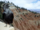 Common Raven, Bryce Canyon National Park, Utah, USA Photographie par Olaf Broders