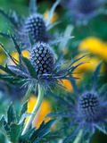 Eryngium Alpinum &quot;Blue Star&quot; (Sea Holly) Photographic Print by Steven Knights