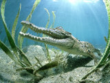 Saltwater Crocodile, Papua New Guinea Photographic Print by Tobias Bernhard
