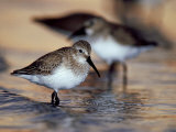 Western Sandpiper, Florida, USA Reproduction photographique par Olaf Broders