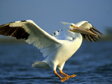 American White Pelican, Texas, USA Photographic Print by Olaf Broders