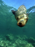 Californian Sea Lion, Sea of Cortez, Mexico Photographic Print by Tobias Bernhard