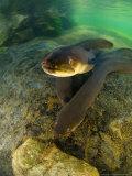Longfin Eels, New Zealand Fotografie-Druck von Tobias Bernhard