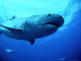Tiger Shark, Aliwal Shoal, South Africa Photographic Print by Tobias Bernhard