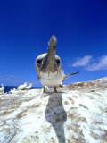 Australian Gannet, Juvenile, New Zealand Photographic Print by Tobias Bernhard