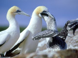 Australian Gannet, Feeding Chick, New Zealand Photographie par Tobias Bernhard