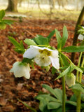 Helleborus Orientalis (Lenten Rose), Flowers, February Photographic Print by Susie Mccaffrey