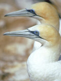 Australian Gannet, Pair, New Zealand Photographic Print by Tobias Bernhard