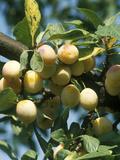 "Plum ""Mirabelle De Nancy"" Golden Fruit on Tree Photographic Print by Michele Lamontagne"
