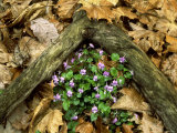 Blue Violets, Great Smoky Mountains National Park, TN Lmina fotogrfica por Willard Clay