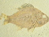 Fish-Priscacara Species, Eocene, Green Rive Formation, Wyoming Photographic Print by David M. Dennis