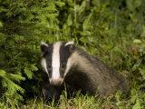 Badger, Foraging, Vaud, Switzerland Photographic Print by David Courtenay