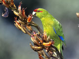 Red-Crowned Parakeet, Cyanoramphus Novaezelandiae Feeding on New Zealand Flax, New Zealand Photographie par Robin Bush