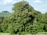 Horse Chestnut in Summer, UK Photographic Print by Mike England