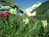 Elder-Flowered Orchid, Red & Yellow Forms, French Pyrenees Photographic Print by Martyn Colbeck