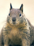 Beecheys Ground Squirrel, Close up Portrait, California, USA Photographic Print by David Courtenay