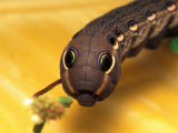 Sphinx Moth Caterpillar with False Eye Spots Photographic Print by David M. Dennis