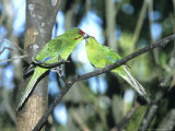 Red-Crowned Parakeet, Pair, N.Zealand Stampa fotografica di Robin Bush