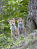 Red Fox, Fox Cubs Outside Den, Vaud, Switzerland Photographic Print by David Courtenay