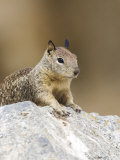Beecheys Ground Squirrel, Portrait of Squirrel Relaxing on Rock, California, USA Photographic Print by David Courtenay