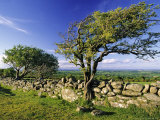 Windswept Tree and Dry Stone Wall, Dartmoor, UK Photographic Print by David Clapp