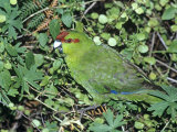 Red-Crowned Parakeet, Feeding, N.Zealand Photographie par Robin Bush