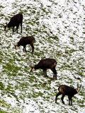 Chamois, Grazing in Snow, Switzerland Papier Photo par David Courtenay