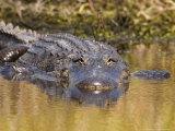 American Alligator, Myakka River State Park, Florida, USA Fotografisk tryk af David M. Dennis