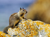 Beecheys Ground Squirrel on Rock, California, USA Photographic Print by David Courtenay
