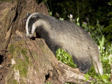 Badger, Foraging, Vaud, Switzerland Photographic Print by David Courtenay