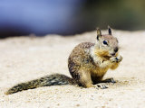 Beecheys Ground Squirrel, Feeding on Ground, California, USA Photographic Print by David Courtenay