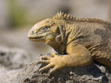 Land Iguana, South Plaza Island, Ecuador Photographic Print by David M. Dennis