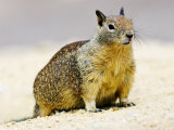 Beecheys Ground Squirrel, California, USA Photographic Print by David Courtenay