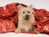 Adult Cairn Terrier Enjoying Christmas Fotografisk tryk af David M. Dennis