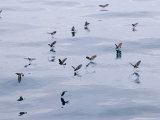 White-Vented Storm Petrels, Feeding, Ecuador Photographic Print by David M. Dennis