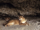 Mountain Lion, Adult and Young Cub in Den, Rocky Mountains Stampa fotografica