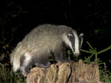 Badger, Foraging on Tree Stump, Vaud, Switzerland Photographic Print by David Courtenay