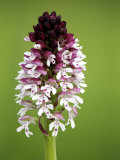 Burnt Orchid, Close up of Spike, UK Photographic Print by David Clapp