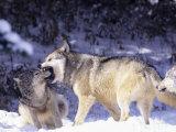 Gray Wolves, Submitting to Alpha Male, Montana Fotografisk trykk av Daniel J. Cox