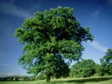 Oak in Summer Photographic Print by Mike England