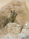 Beecheys Ground Squirrel on Rock Yawning, California, USA Photographic Print by David Courtenay