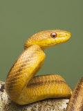Yellow Rat Snake, Sarasota County, USA Reproduction photographique par David M. Dennis