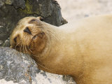 Sea Lion, Puerto Villimil, Galapagos, Ecuador Photographic Print by David M. Dennis