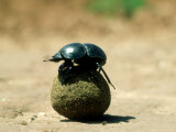 Flightless Dung Beetle, with Dung Ball, South Africa, Photographic Print