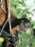 Spider Monkey, Male, Panama Stampa fotografica di Philip J. Devries