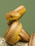 Yellow Rat Snake, Sarasota County, USA Fotografisk tryk af David M. Dennis