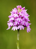 Pyramid Orchid, Close up of Spike, UK Photographic Print by David Clapp