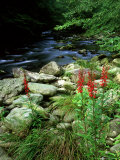 Cardinal Flower in Flower, TN Photographic Print by Willard Clay