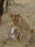 Lion, Lioness with Baby Impala Kill, Kenya, Africa Photographic Print